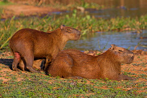 Capybara (Hydrochoerus hydrochaeris) male and female with suckling young, Pantanal, Pocone, Brazil  -  Paul Williams