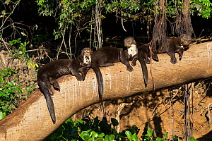 Giant otters (Pteronura brasiliensis) resting on tree branch, Pantanal, Pocone, Brazil - Paul Williams