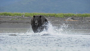 Grizzly bear (Ursus arctos horribilis) chasing and catching a Sockeye salmon (Oncorhynchus nerka) Katmai National Park, Alaska, USA, August 2010.  -  Andy  Rouse