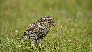 Little owl (Athene noctua) on the ground eating an earthworm, Wales, UK, July 2010. - Andy  Rouse