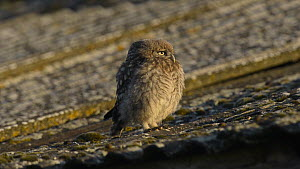 Juvenile Little owl (Athene noctua) perched on the edge of a roof looking around, showing neck rotation, Wales, UK, June 2012. - Andy  Rouse