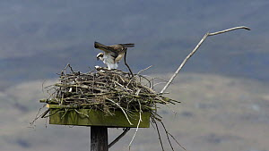 Pair of Ospreys (Pandion haliaetus) mating on a nesting platform, Cors Dyfi Montgomeryshire Wildlife Trust Reserve, Dyfi Estuary, Ceredigion, Wales, UK, April 2012. Taken with a Schedule 1 license fro... - Andy  Rouse / 2020VISION