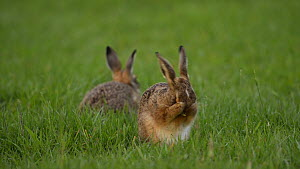 European/Brown hare (Lepus europaeus) leveret cleaning itself, with a second leveret feeding in the background, Essex, England, UK, June 2012.  -  Andy  Rouse / 2020VISION