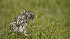 Little owl (Athene noctua) on the ground eating an earthworm, Wales, UK, July 2010. - Andy  Rouse / 2020VISION