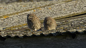 Two juvenile Little owls (Athene noctua) jumping out of nest hole onto a roof, Wales, UK, June 2012.  -  Andy  Rouse / 2020VISION