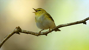 Wood warbler (Phylloscopus sibilatrix) perched on twig, singing, Wales, UK, June 2012. - Andy  Rouse / 2020VISION