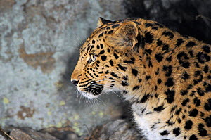 Amur Leopard (Panthera pardus orientalis) profile view, Kedrovaya Pad reserve, Primorskiy krai, Far East Russia. January, Critically endangered species.  -  Vladimir Medvedev
