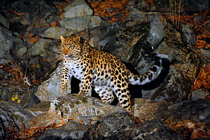 Amur Leopard (Panthera pardus orientalis) on rocky slope at night, Kedrovaya Pad reserve, Primorskiy krai, Far East Russia, December, Critically endangered species.  -  Vladimir Medvedev