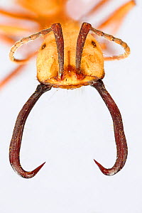 Army ant (Eciton burchellii)  head of a soldier with sickle-shaped mandibles. The soldier caste defends the others. Specimen photographed using digital focus stacking  -  Solvin Zankl