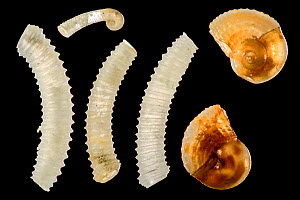 Particles from calcareous sand sample: left snails, family Caecidae, upper juvenile. Right shells from juvenile Architectonicidae. Raja Ampat, Indonesia. Diagonal of frame approx. 3mm  Digital focus s... - Solvin Zankl
