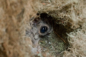 Siberian flying squirrel (Pteromys volans) peering out from nest made of lichen, Lapua, Finland, June  -  Benjam Pontinen