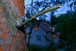 Siberian flying squirrel (Pteromys volans) sat in tree at dusk with house in the background, Seinajoki, Finland, August  -  Benjam Pontinen