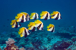 Masked bannerfish (Heniochus monoceros) group above coral reef, Maldives, Indo-West Pacific - Georgette Douwma