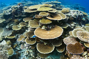 Table top coral (Acropora hyacinthus) formations on shallow reef top. Maldives, Indian Ocean  -  Georgette Douwma