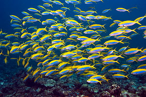 Yellowtop fusiliers (Caesio xanthonota) school over coral reef, Maldives, Indian Ocean - Georgette Douwma