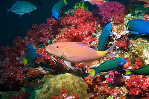 Yellowsaddle goatfish (Parupeneus cyclostomus) hunting over corals, Andaman Sea, Thailand  -  Georgette Douwma