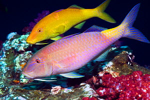 Yellowsaddle goatfish (Parupeneus cyclostomus) pair hunting over corals, Andaman Sea, Thailand  -  Georgette Douwma