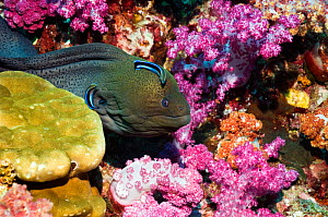 Giant moray eel (Gymnothorax javanicus) emerging from soft corals, being cleaned by Bluestreak cleaner wrasse, Andaman Sea, Thailand  -  Georgette Douwma