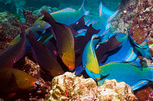Greenthroat or Singapore parrotfish (Scarus prasiognathus), large school of terminal males and females grazing on algae covered coral boulders, Andaman Sea, Thailand. - Georgette Douwma