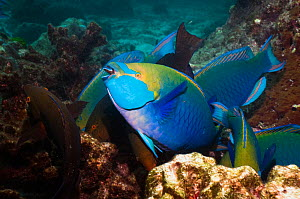 Greenthroat or Singapore parrotfish (Scarus prasiognathus), terminal males and females amongst coral, Andaman Sea, Thailand. - Georgette Douwma