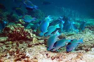 Greenthroat or Singapore parrotfish (Scarus prasiognathus), large school of terminal males grazing on algae covered coral rubble on sandy bottom, Andaman Sea, Thailand.  -  Georgette Douwma