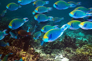 Greenthroat or Singapore parrotfish (Scarus prasiognathus), large school of terminal males swimming over coral reef, Andaman Sea, Thailand. - Georgette Douwma