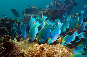 Greenthroat or Singapore parrotfish (Scarus prasiognathus), large school of terminal males grazing on algae covered coral boulders, Andaman Sea, Thailand. - Georgette Douwma