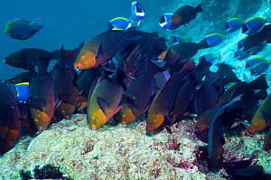 Greenthroat or Singapore parrotfish (Scarus prasiognathus), large school of females grazing on algae covered coral boulder, Andaman Sea, Thailand.  -  Georgette Douwma