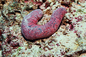 Edible sea cucumber (Holothuria edulis) one of the edible species of sea cucumbers served as 'sea slugs', 'trepang' or 'Beche de mer'. Maldives, Indian Ocean  -  Georgette Douwma