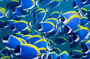 Powder blue surgeonfish (Acanthurus leucosternon), large school swimming, Andaman Sea, Thailand  -  Georgette Douwma
