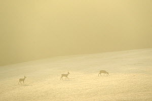 Roe deer (Capreolus capreolus) in distance at dawn, Vosges, France, February  -  Fabrice Cahez