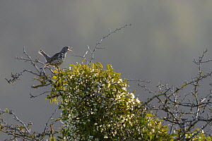 Mistle thrush (Turdus viscivorus) perched next to Mistletoe (Viscum album) in winter, Vosges, France, January - Fabrice Cahez