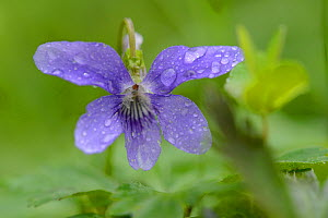 Wild violet, (Viola riviniana), Vosges, France, May  -  Fabrice Cahez
