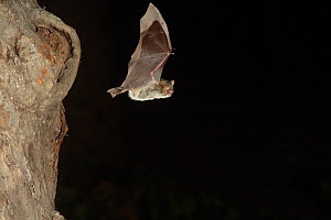 Grey Long Eared Bat (Plecotus austriacus) leaving nesting hole in tree. France, Europe, September. - Eric Medard