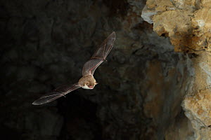 Natterer's Bat (Myotis nattereri) in flight, leaving cave roost to forage at night. France, Europe, August. - Eric Medard