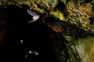 Natterer's Bats (Myotis nattereri) leaving cave roost to forage at night. France, Europe, October. - Eric Medard