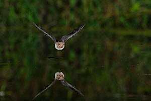 Natterer's Bat (Myotis nattereri) flying low over water, mouth open to emit echolocating calls. France, Europe, July. - Eric Medard