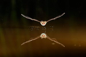 Natterer's Bat (Myotis nattereri) in flight above water, with splash from where it has drunk from surface. France, Europe, July. - Eric Medard