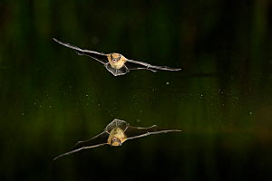 Kuhl's Pipistrelle Bat (Pipistrelle kuhlii) in flight over water, mouth open to emit echolocating calls. France, Europe, July. - Eric Medard