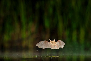 Nattererer's Bat (Myotis nattereri)  in flight low over water. France, Europe, July. - Eric Medard
