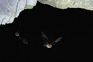 Natterer's Bats (Myotis nattereri) in flight near cave ceiling. France, Europe, September. - Eric Medard