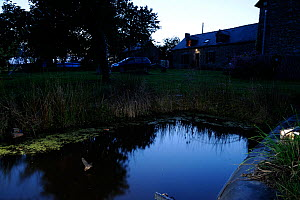 Common Pipistrelle Bat (Pipstrellus pipistrellus) in flight low over pond by buildings. France, Europe, August.  -  Eric Medard