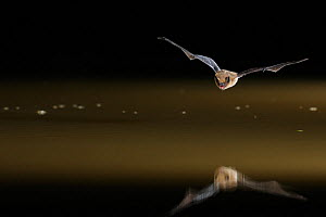 Common Pipistrelle (Pipistrellus pipistrellus) in flight low over water, mouth open to emit echolocating calls. France, Europe, May. - Eric Medard