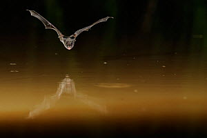 Western Barbastelle Bat (Barbastella barbastella) in flight low over water, mouth open to emit echolocating calls. France, Europe, July. - Eric Medard