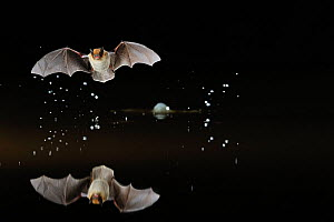 Kuhl's Pipistrelle Bat (Pipistrelle kuhlii) in flight low over water, with splash from drinking in flight. France, Europe, May.  -  Eric Medard