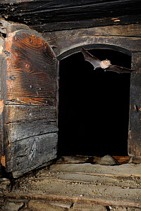 Lesser Horseshoe Bat (Rhinolophus hipposideros) flying into the attic space of a building. France, Europe, August. - Eric Medard