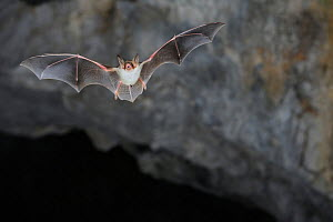 Lesser Mouse Eared Bat (Myotis blythii) in flight in cave. France, Europe, August. - Eric Medard