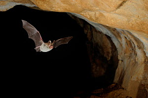 Bechstein's Bat (Myotis bechsteinii) in flight in cave. France, Europe, August. - Eric Medard