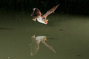 Lesser Mouse Eared Bat (Myotis blythii) in flight low over water, mouth open to emit echolocating calls. France, Europe, July. - Eric Medard