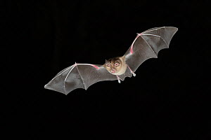 Greater Horseshoe Bat (Rhinolophus ferrumequinum) in flight at night, mouth open to emit echolocating calls. France, Europe, September. - Eric Medard